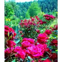 Удобрение Agrecol (Hortifoska) для Роз 1 кг