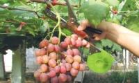 Степлер для подвязки винограда Verdi Premium