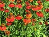Гелениум осенний Helenium autumnale