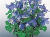 Аквилегия вееровидная карликовая Aquilegia flabellata