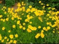 Кореопсис крупноцветковый Coreopsis grandiflora