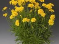 Кореопсис крупноцветковый махровый Coreopsis grandiflora