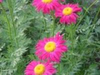 Пиретрум розовый Робинсон Chrysanthemum coccineum