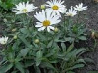 Ромашка садовая Chrysanthemum maximum Kamilla