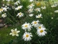 Ромашка садовая Chrysanthemum maximum Princess