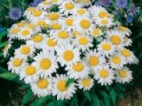 Ромашка садовая Chrysantthemum maximum Silver Princess