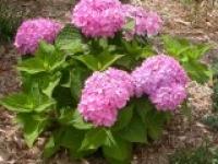 Гортензия садовая (розовая) Hydrangea macrophуlla