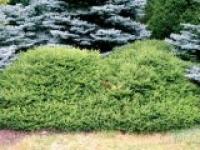 Ель обыкновенная Picea abies Maxwellii