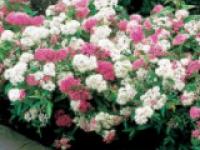 Спирея японская Spiraea japonica Genpei (Shirobana)