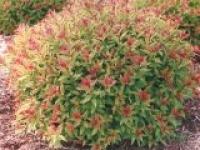 Спирея японская Spiraea japonica Coldflame