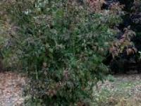 Жостер слабительный Rhamnus cathartica