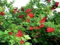 Калина обыкновенная Viburnum opulus