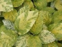 Калина гордовина Viburnum lantana Aureovariegata