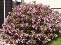 Вейгела цветущая Weigela Atropurpurea Nana Purpurea