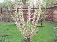 Миндаль трёхлопастной Prunus triloba