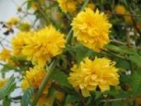 Керрия японская Kerria japonica Pieniflora