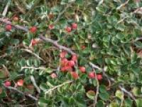 Кизильник блестящий Cotoneaster lucidus