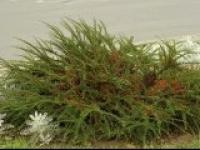 Кизильник горизонтальный Cotoneaster horizontalis