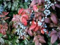 Магония падуболистная Mahonia aguifolium