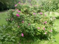 Роза морщинистая Rosa rugosa