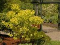 Скумпия кожевенная Cotinus coggygria Golden Spirit