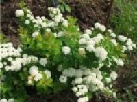 Спирея березолистная Spiraea betulifolia
