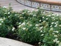 Спирея японская Spiraea japonica Albiflora