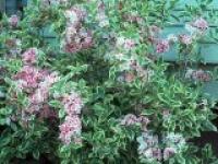 Вейгела цветущая Weigela florida Variegata