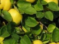 Хеномелес (Айва японская) Chaenomeles japonica