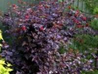 Пузыреплодник калинолистный Physocarpus opulifolius Diabоlo