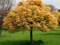 Клён ложноплатановый Acer pseudoplatanus Brilliantissimum