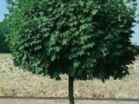 Клён остролистный Acer platanoides Globosum