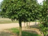 Клён полевой Acer campestre Nanum