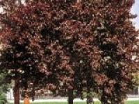 Слива растопыренная Prunus cerasifera Pissardii