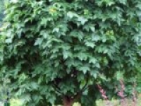 Ясень пенсильванский Fraxinus pennsylvanica Crispa