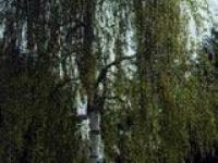 Береза повислая Betula pendula Youngii