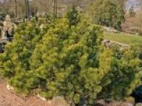 Сосна горная Pinus mugo Ophir