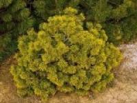 Сосна горная Pinus mugo Winter Gold