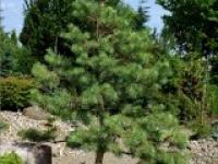 Сосна обыкновеная Pinus sylvestris Aurea