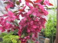 Яблоня гибридная Malus hybrida Royalty
