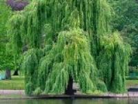 Ива белая Salix alba Crysocoma