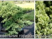 Можжевельник лежачий Juniperus procumbens Nana