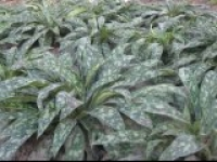 Медуница сахарная Pulmonaria saccharata