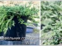 Можжевельник горизонтальный Juniperus horizontalis Prince of Wales