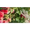 Удобрение Agrecol 100 дней для Роз 1,5 кг