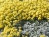 Алиссум горный Alyssum montanum