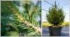 Ель обыкновенная (европейская) Picea abies