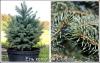 Ель колючая Picea pungens Glauca