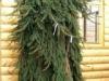 Ель обыкновенная Picea abies Inversa