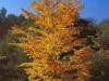 Багрянник японский Cercidiphyllum japonicum